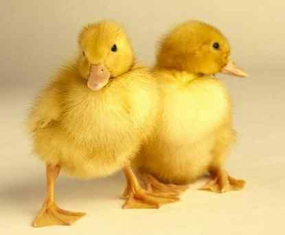 embriones de pato