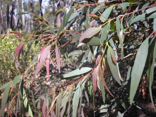 planta de goma azul australiana