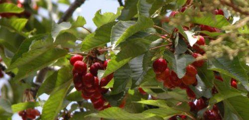 planta de cerezos silvestres